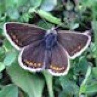 brownargus