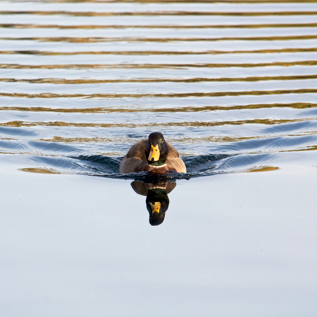 Calm Water Duck
