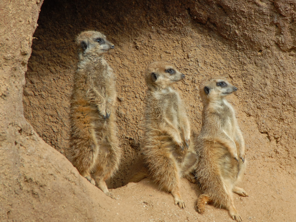 MeerKats - Left Face