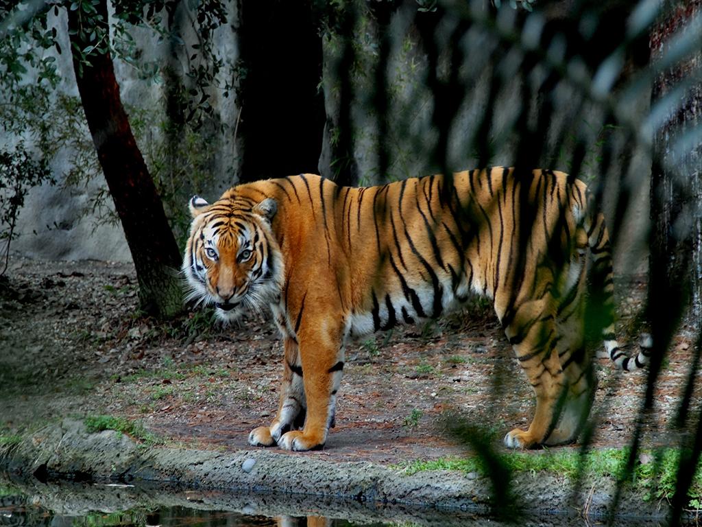 Tiger - The Stare