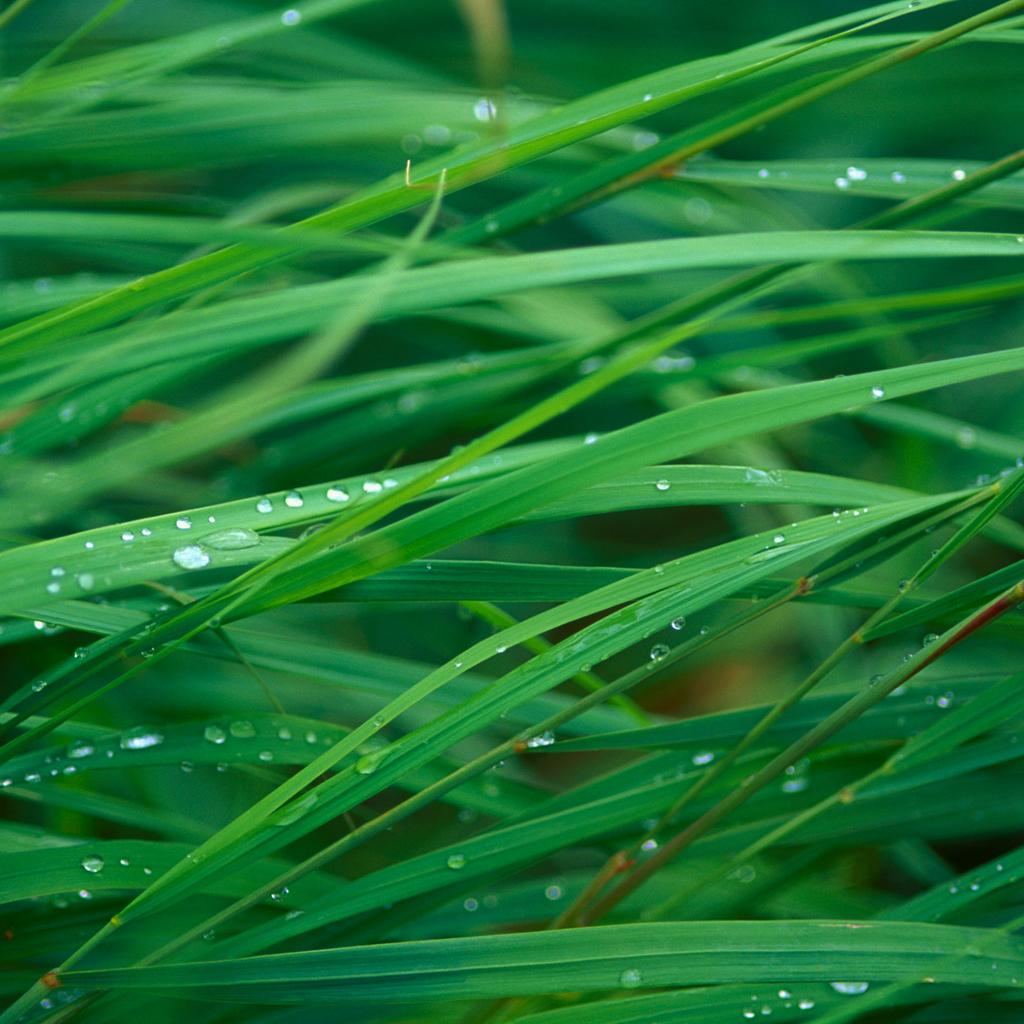 Grass_Blades