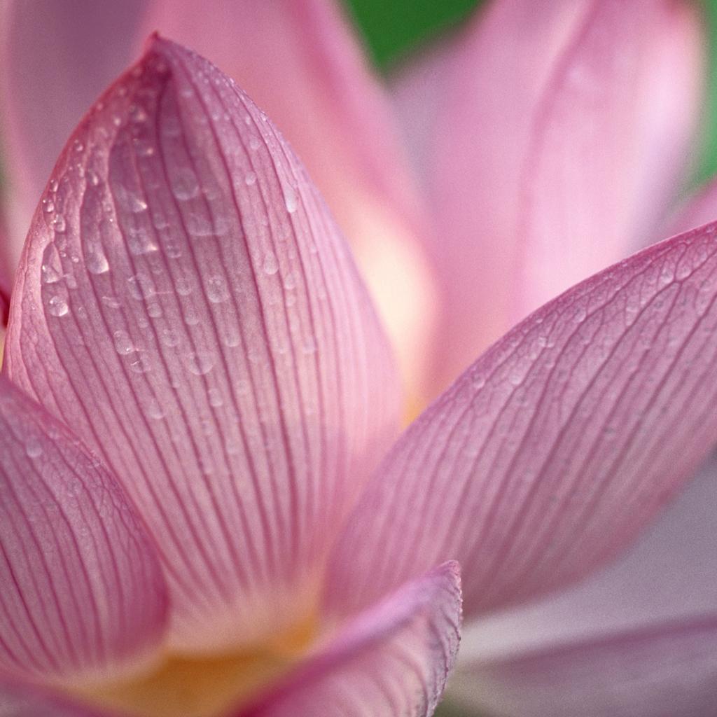 Lotus - Apple OS Wallpaper