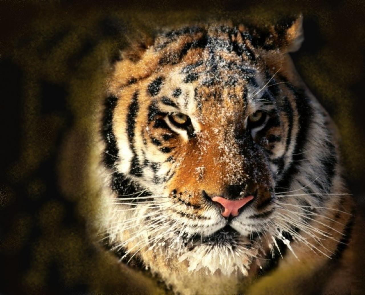 tigeranimal01