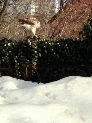 REDTAIL  HAWK  ....WHAT?   In my backyard !!!!
